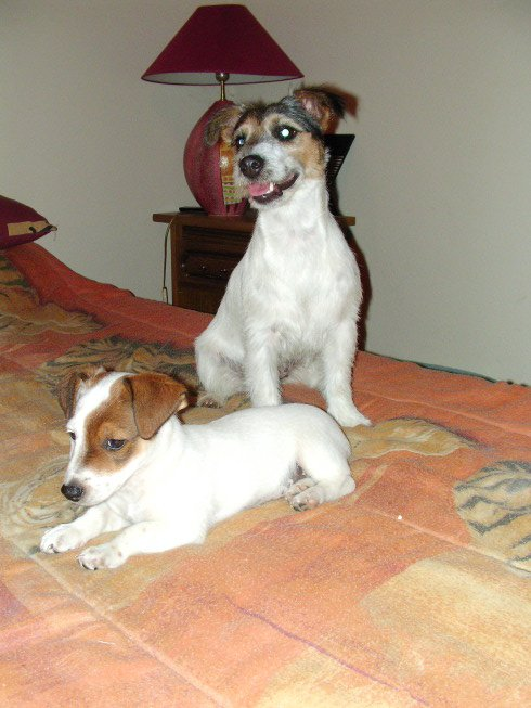 Jack Russel Terrier (30) dans !! Faites vous connaitre !! dulcieelyos